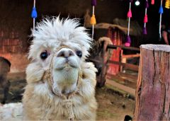 The wooly Alpaca, South America's version of the camel, is vital to the Peruvian economy and quite tasty. Photo by David Dickstein